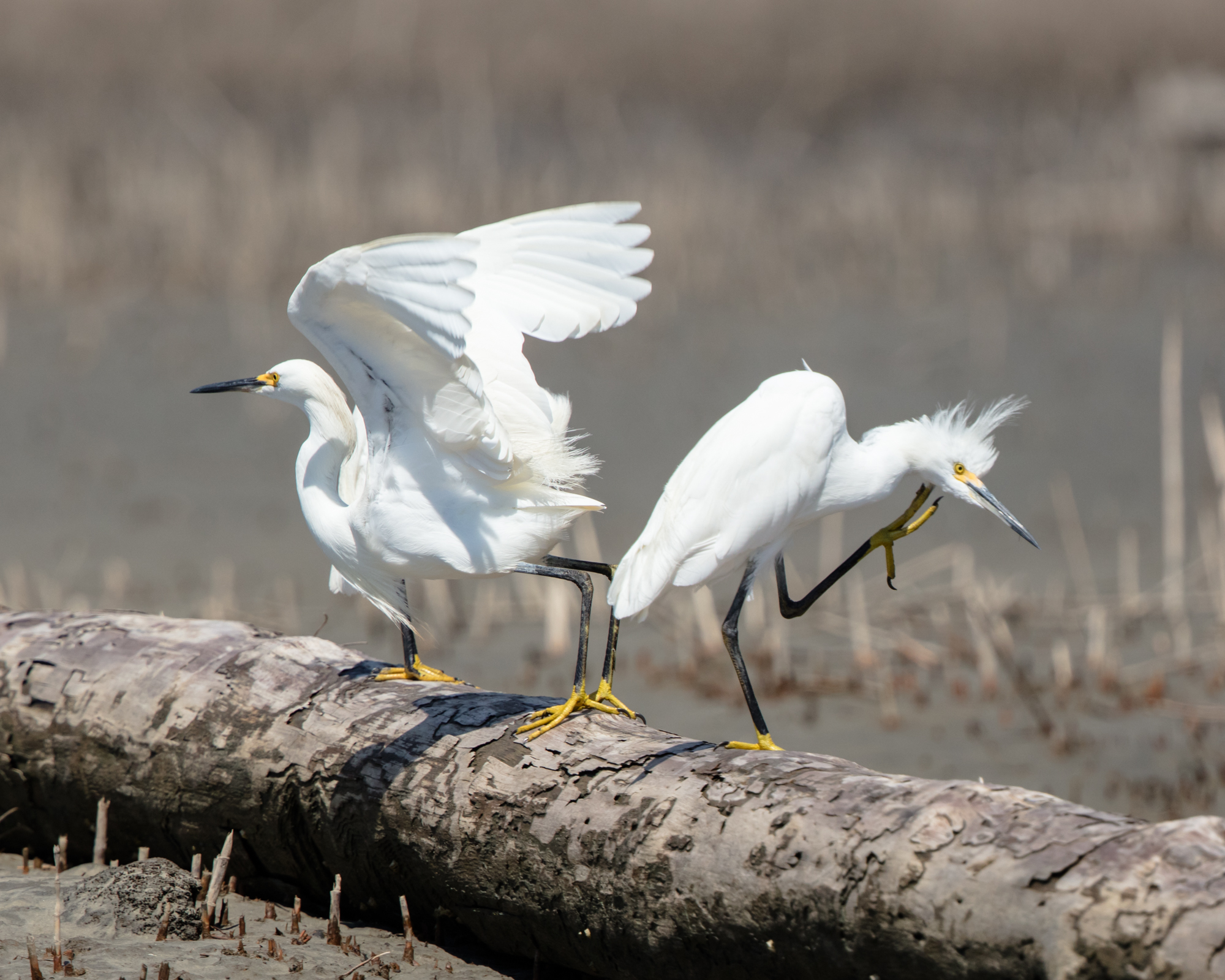 Snowy egrets playing and preening after the tide went out in the salt marsh on Hunting Island.