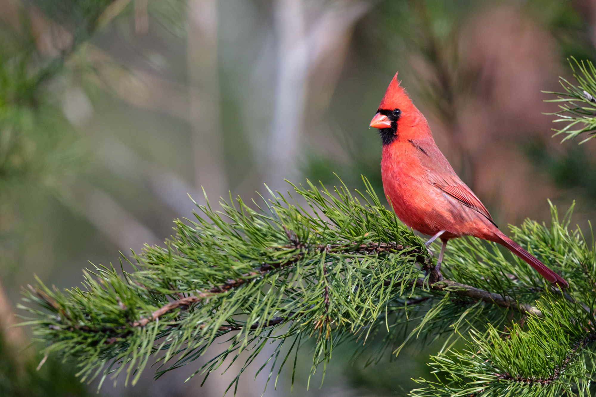 Northern Cardinal - Canon 5DS with Canon EF500mm f/4L IS II USM +1.4x III. 700mm, f/5.6, 1/1250s, iso1600.