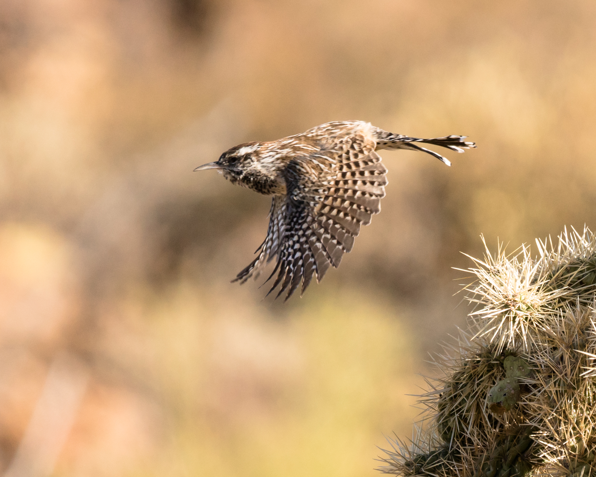 Cactus Wren taking off. Cropped image from Sony A7RII. FE 100-400mm F4.5-5.6 GM OSS. 400mm, f/6.3, 1/2500s, ISO 800.