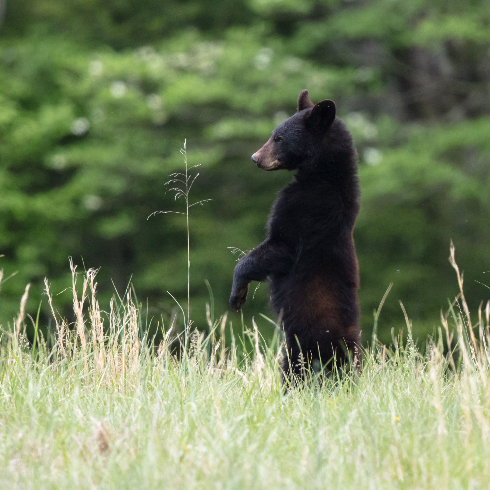 Young black bear in the fields in Cades Cove. I would often use fence posts to help steady my shots as I waited for action from these bear. Taken with Canon 5DS using EF500mm f/4L IS II USM +1.4x III. 700mm, f/5.6, 1/640s, ISO 1600.