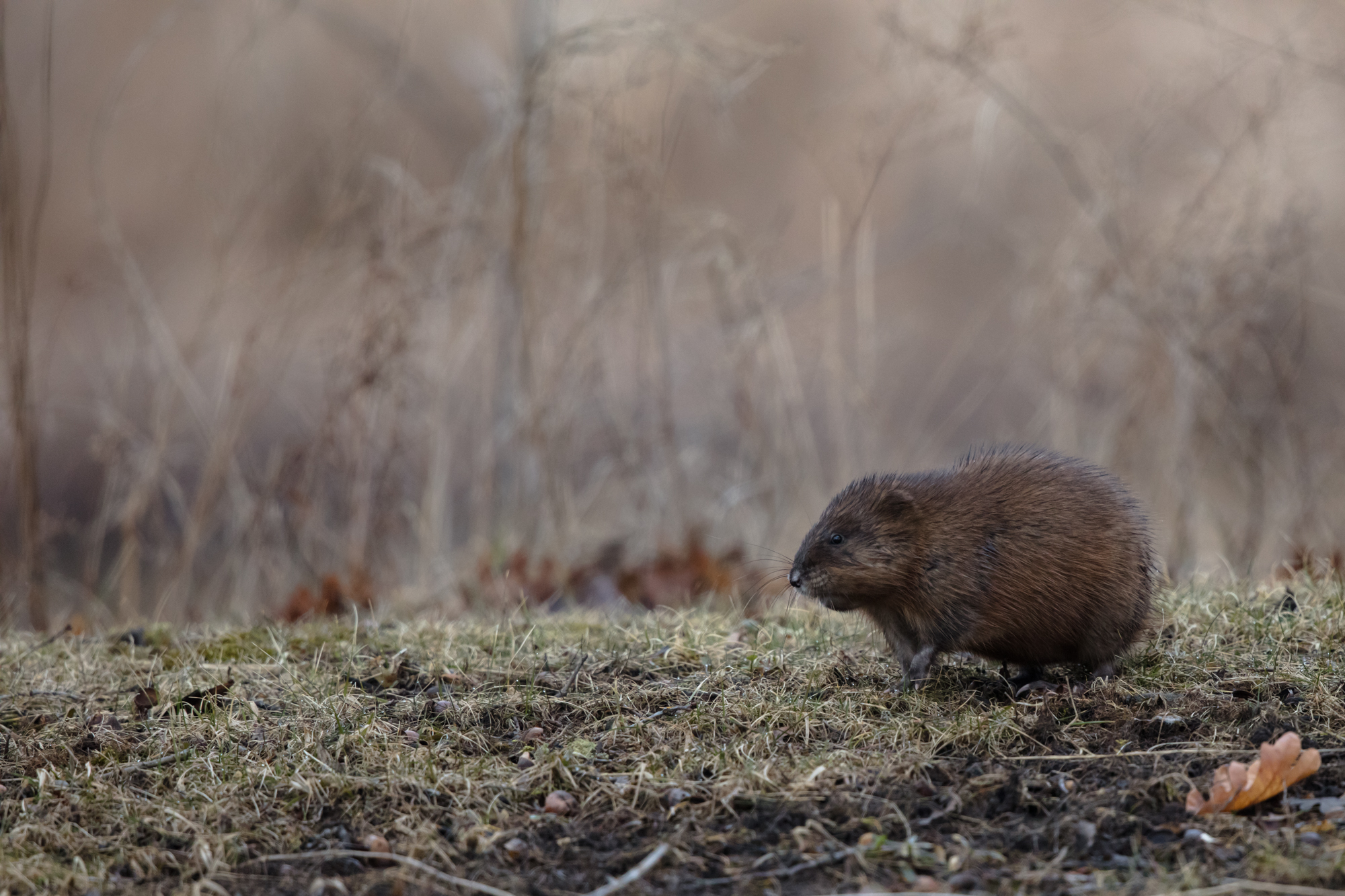 Muskrat on a cold and foggy morning along Black Creek