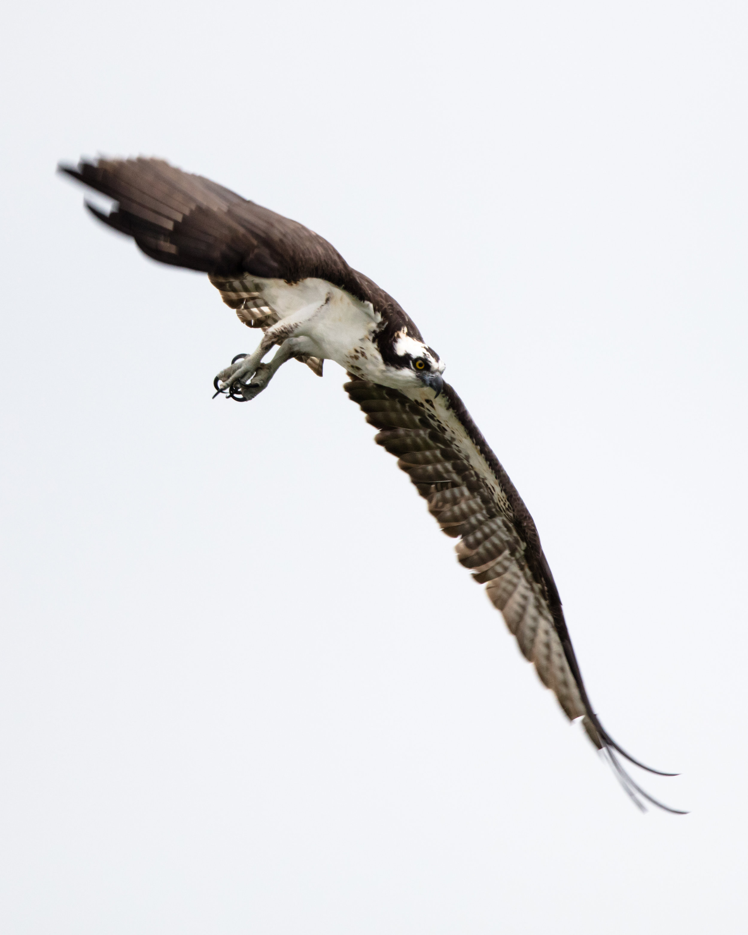 Osprey taking off from a perch overlooking the Niagara River.