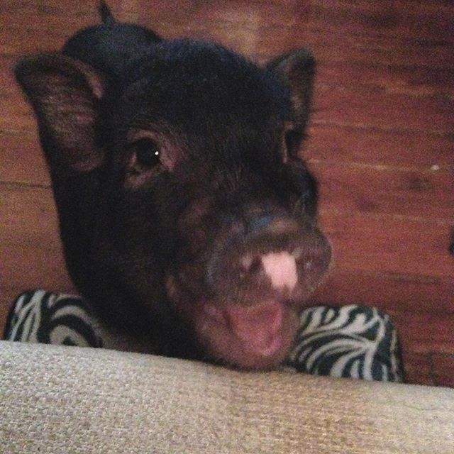 "Today is Rouxcifers 6th birthday! This last week has been wild and I almost forgot his bday.. yikes! My AC broke in the middle of a heat wave, total nightmare. Anyway, I've had this little goof since he was just 6 weeks old. He's a mini pig, yes they get much bigger than the bullshit ""teacup pigs"" you've seen. That's a total myth just sayin. When I was a kid I was obsessed with pigs and always wanted one. I found out around 10 years old I was born in the pig year [2019 is also a pig year🖤] so I just wanted to pause and make a pig friend appreciation post. Cannot believe I'm lucky enough to share my life with two of these beasts. My other oinker, Saint Olive, turned 6 on Beltane. Today we celebrated Roux turning 6 with an array of fruit and a visit from some adoring neighbors who brought cherries. Pigs are such precious babes and are super sensitive, smart, and affectionate. Love my sweeties. Have a great evening and don't forget to kiss your furbabies 🎂 . . . . . #pigtures #pigfriends #piglove #happybirthday #ollieandroux #cuties #cuteanimals #rubysabbathwolfe #illustration #piggy #bdaylove #sabbathwolfe #realmagicskincare #neworleans #nolalove #nolalife #nolabusinesswomen #animalfriends #pigstagram #hugyourbabies #love #holistic #handmade #badass #nola #neworleanslife"