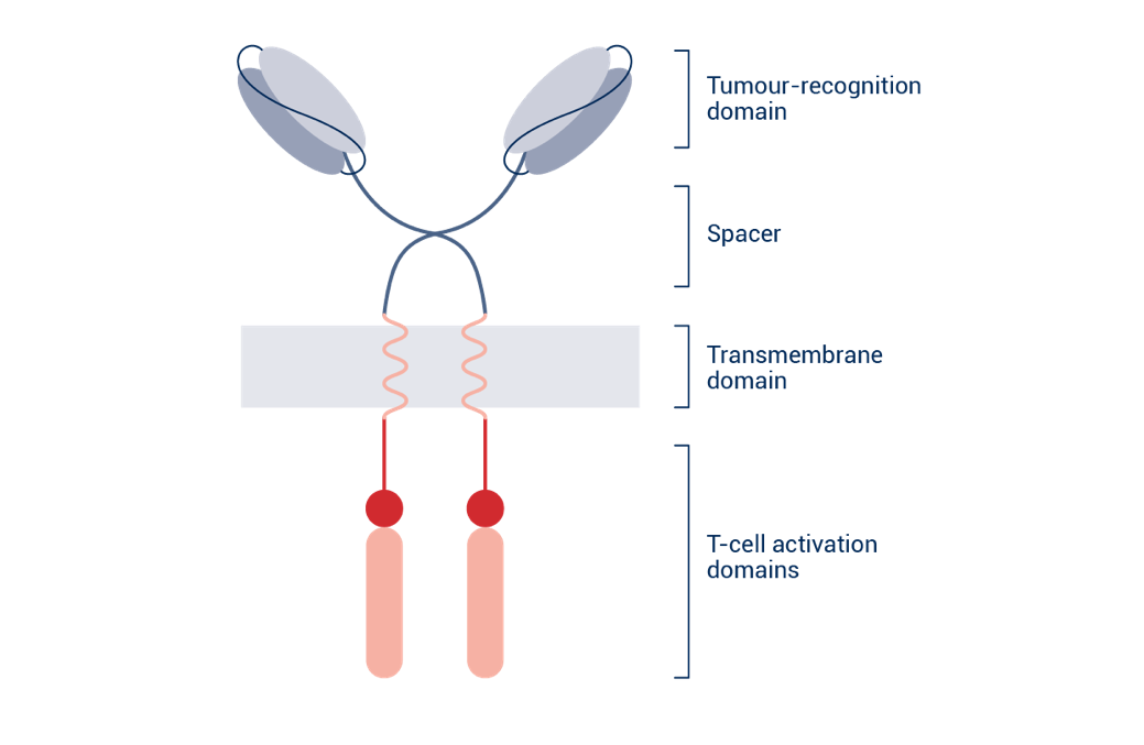 https://www.autolus.com/application/files/9714/8344/0705/CAR_NEW.png  Chimeric Antigen Receptors (CARs), these membrane-bound proteins combine the tumour recognition domain of an antibody with the T Cell activation mechanism