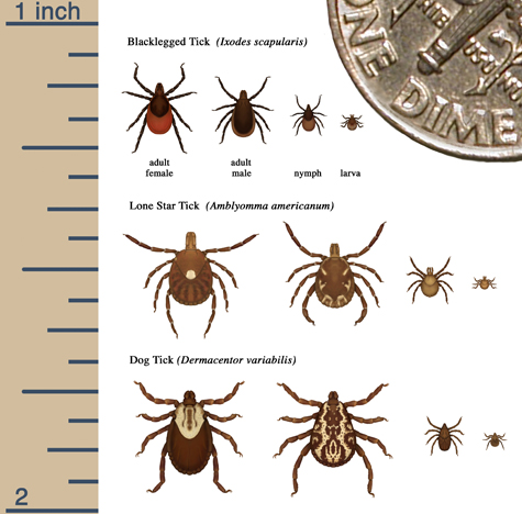Relative sizes of ticks at different life stages (CDC).