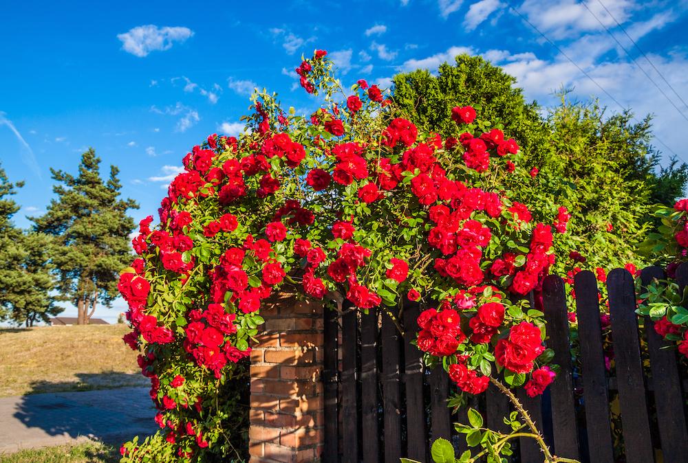 iStock-rosebush.jpg