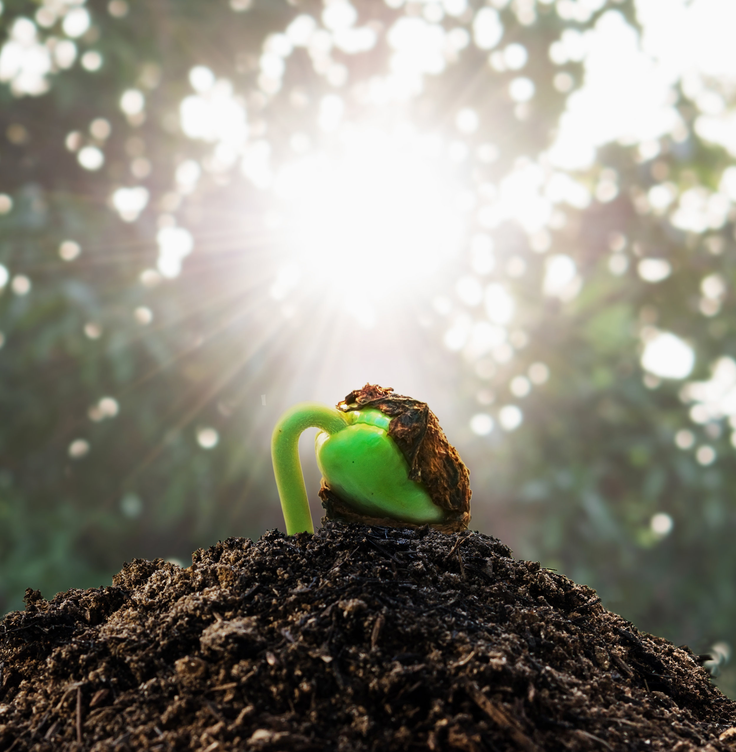 Ecology-concept.-Rising-sprout-tamarind-on-soil-stack-485506940_3401x3473.jpeg