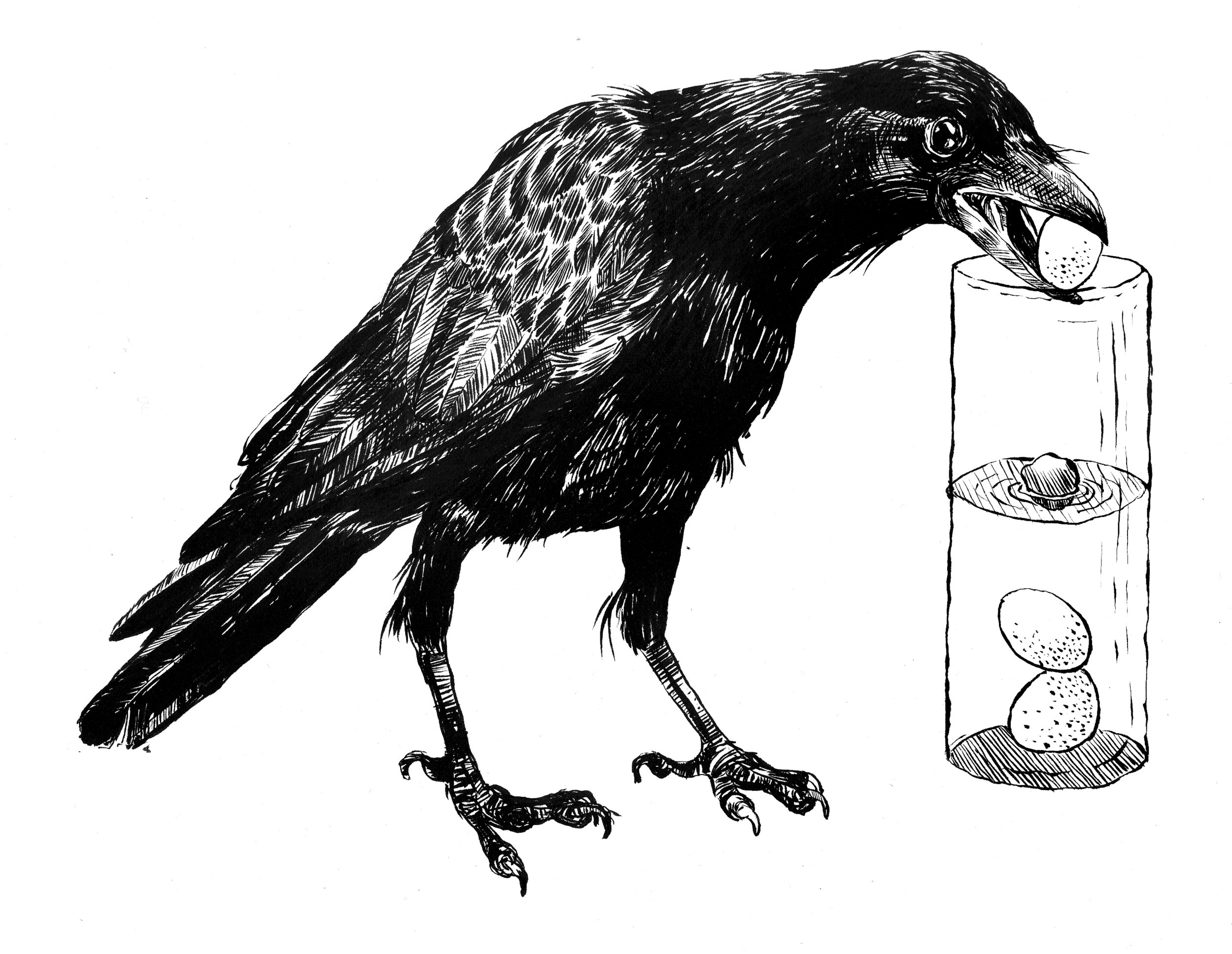 New Caledonian Crow for SpringBoard/ The College Board, Ink 2015