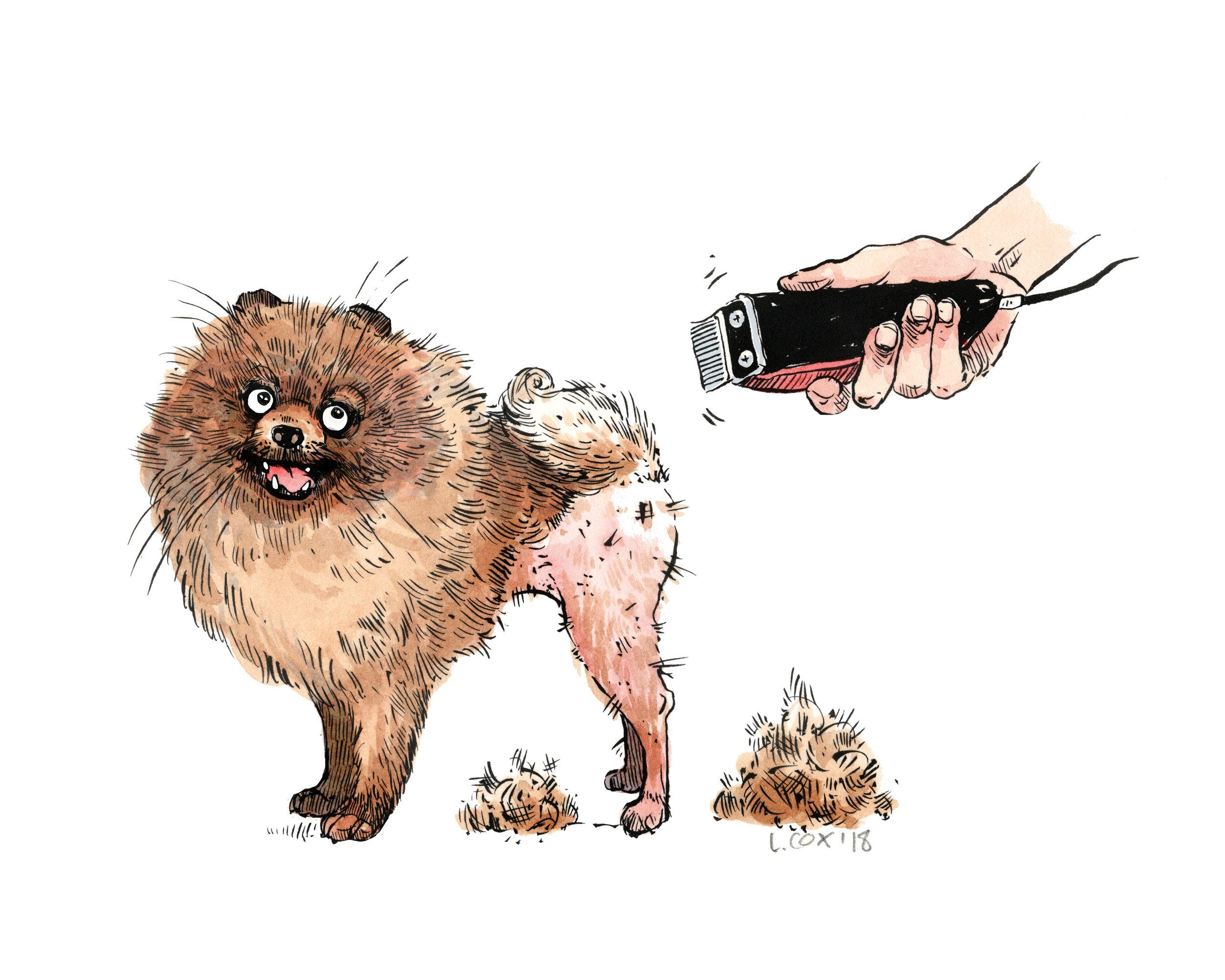 Pomeranian for Fur Fish & Game Magazine, Ink & Watercolor 2018