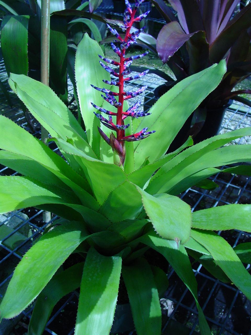 Specimen: Bromeliad
