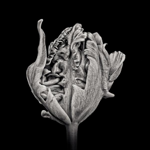 Black Parrot Tulip I  (PTL006)_web_Paul J Coghlin.jpg