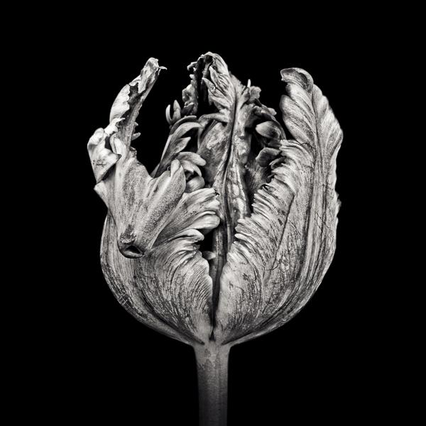 Black Parrot Tulip II  (PTL007)_web_Paul J Coghlin.jpg