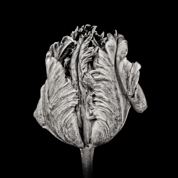 Black Parrot Tulip III_web_Paul J Coghlin.jpg
