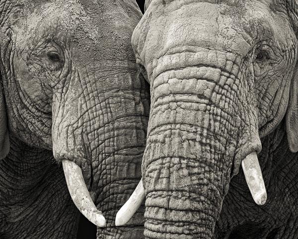 Two Elephants (web) © Paul J Coghlin.jpg