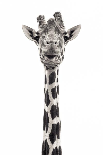 Giraffe V. Photograph of a giraffe by fine art photographer Paul Coghlin