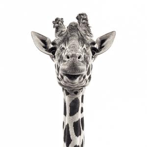Giraffe VI