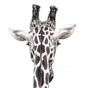 Giraffe VIII