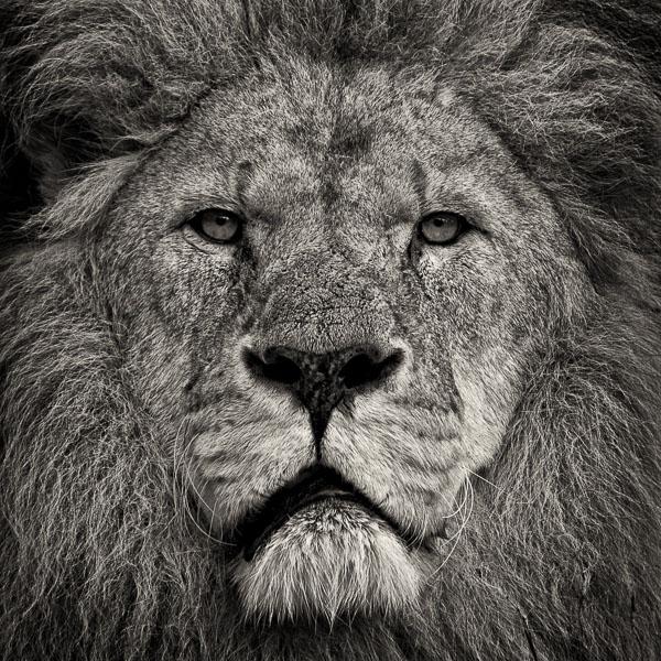 BTE_001 Lion's Stare. Portrait of a Lion by fine art photographer Paul Coghlin. Limited edition photographic prints.