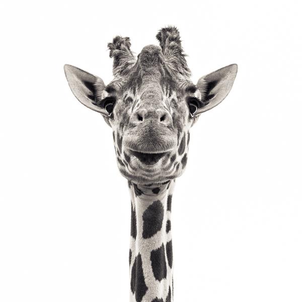 BTE2_019 Giraffe VI. Photograph of a giraffe by fine art photographer Paul Coghlin