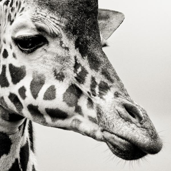 BTE2_002 Portrait of a Giraffe by fine art photographer Paul Coghlin.