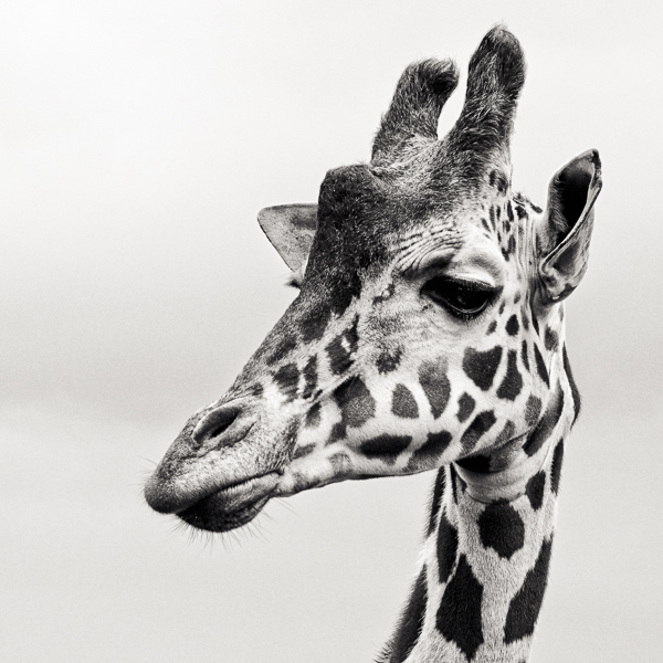 BTE2_003 Giraffe II. Portrait of a giraffe by fine art photographer Paul Coghlin.