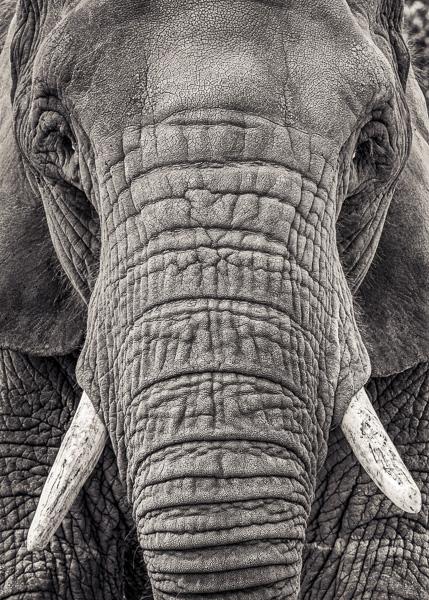 BTE2_020   Portrait of an Elephant III. Photograph of an elephant by fine art photographer Paul Coghlin.