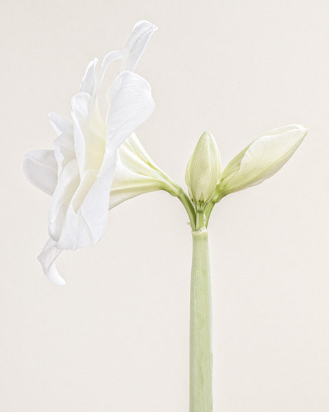 """A white Hippeastrum """"White Nymph"""" (commonly known as an Amaryllis) on a pale background. Limited edition photographic print by fine art photographer Paul Coghlin."""