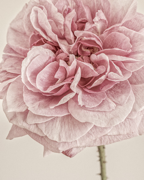 English Rose I. Limited edition photographic print by Paul Coghlin