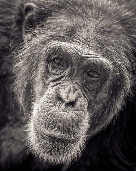 BTE2_021 Wondering. Photograph of a chimp by fine art photographer Paul Coghlin