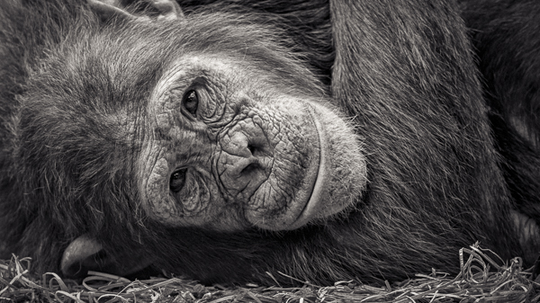 BTE2_013 To Sleep. Photograph of a chimp resting by fine art photographer Paul Coghlin