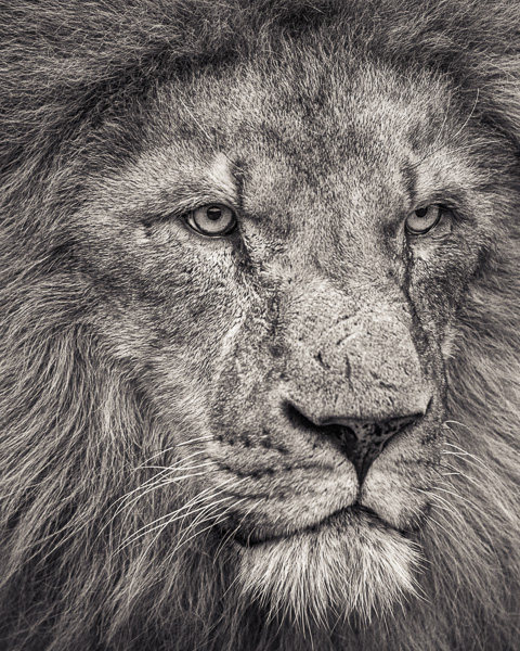 FFV_007 Portrait of African Lion Looking Away. Portrait of a Lion by fine art photographer Paul Coghlin. Limited edition photographic prints.