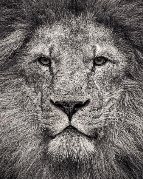 FFV_005 Portrait of African Lion. Portrait of a Lion by fine art photographer Paul Coghlin. Limited edition photographic prints.