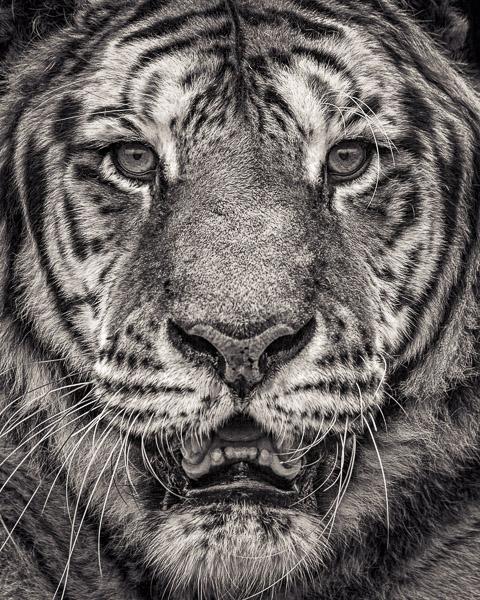 FFV_002 Portrait of Sumatran Tiger by fine art photographer Paul Coghlin. Limited edition photographic prints.