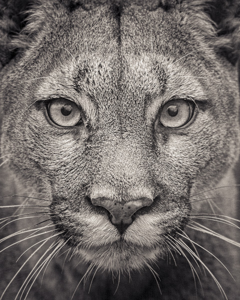 FFV_008 Portrait of Puma by fine art photographer Paul Coghlin. Limited edition photographic prints.