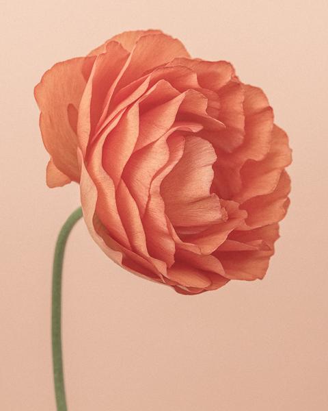 CF39 Orange Ranunculus I. Limited edition photographic print by Paul Coghlin
