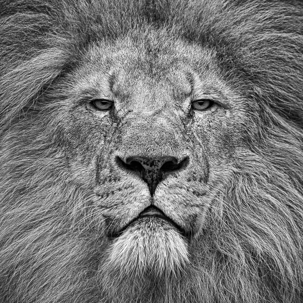 BTE3_024 Fearless (Portrait of an African Lion) by fine art photographer Paul Coghlin. Limited edition photographic prints.