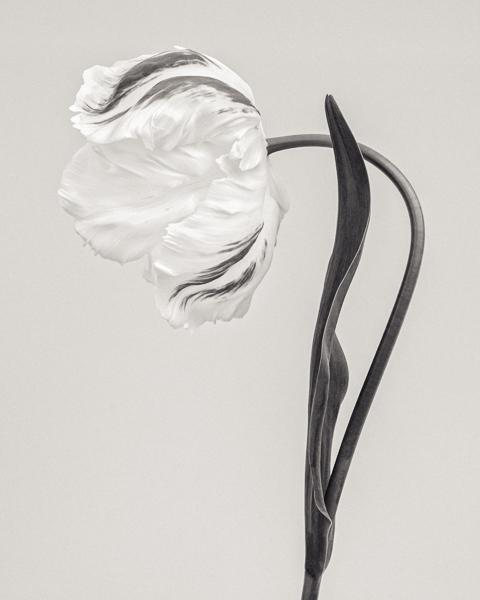 BTNC_002 Tulipa 'Madonna' II. Limited edition photographic print by Paul Coghlin
