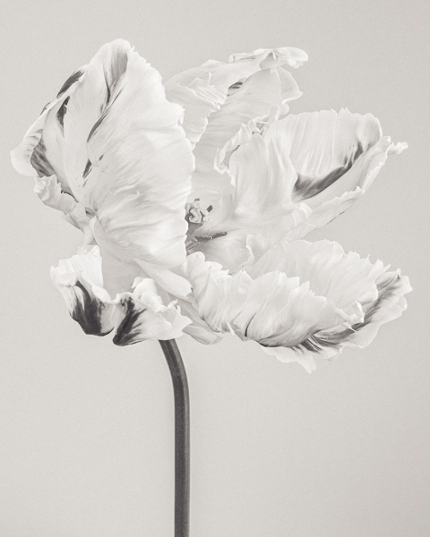 BTNC_005 Tulipa 'Madonna' V. Limited edition photographic print by Paul Coghlin
