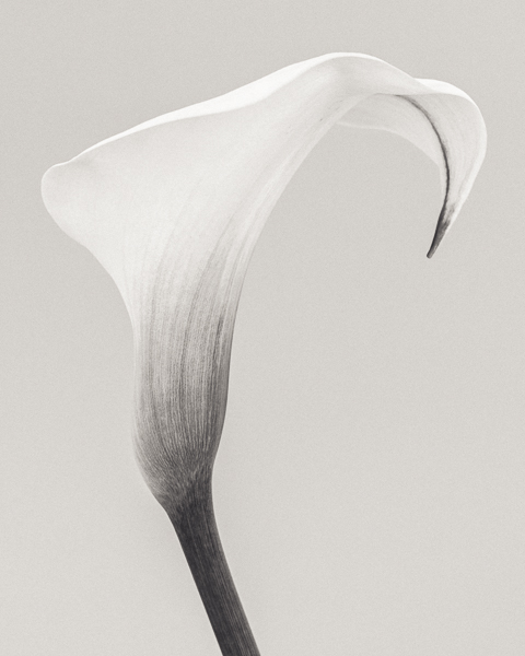 BTNC_010 Zantedeschia (Arum Lily) II. Limited edition photographic print by Paul Coghlin