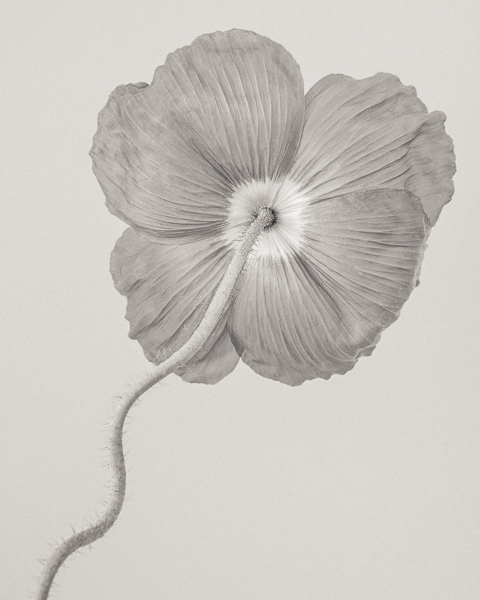 BTNC_014 Papaver nudicaule (Icelandic Poppy) I. Limited edition photographic print by Paul Coghlin