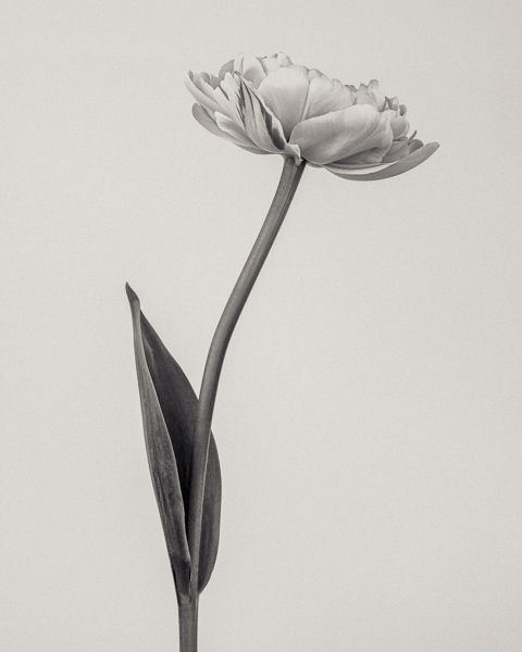 BTNC_018 Tulipa 'Yellow Pompenette' II. Limited edition photographic print by Paul Coghlin