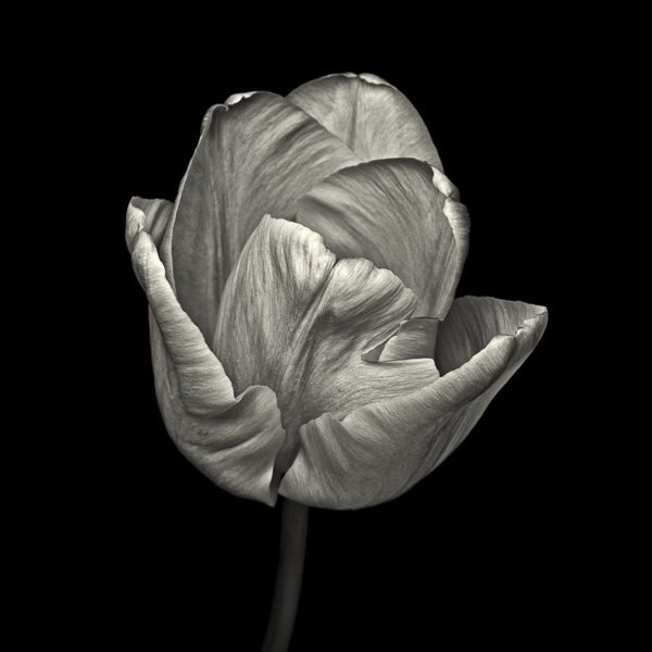 PTS001 Pink Tulip, Study IV. Limited edition photographic print by Paul Coghlin