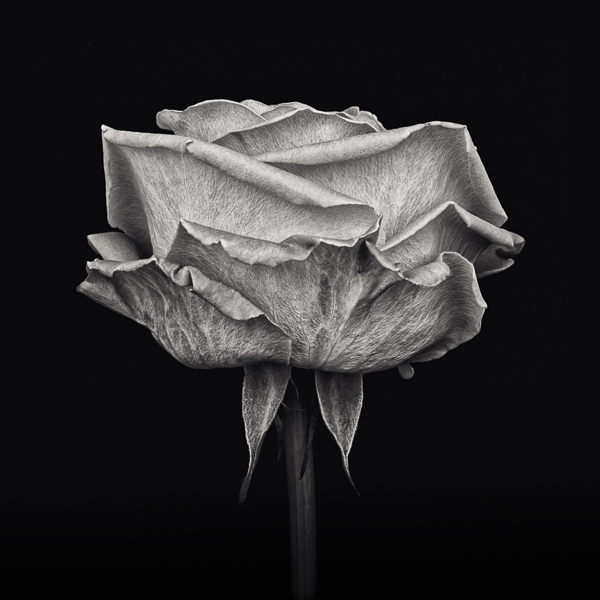 PTL009 Pink Rose, Study III. Limited edition photographic print by Paul Coghlin