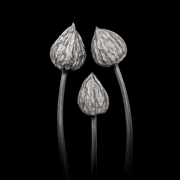 PTL027 Three Chives. Limited edition photographic print by Paul Coghlin