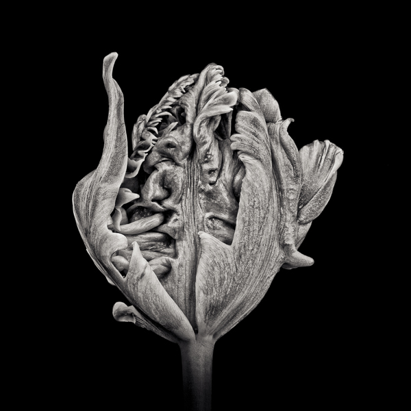 PTL006 Black Parrot Tulip I. Limited edition photographic print by Paul Coghlin
