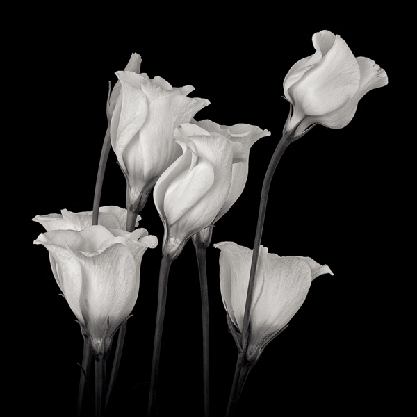 PTL024 White Campanula II. Limited edition photographic print by Paul Coghlin