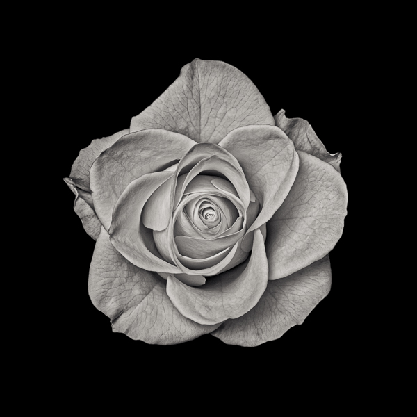 PTL014 Yellow Rose. Limited edition photographic print by Paul Coghlin