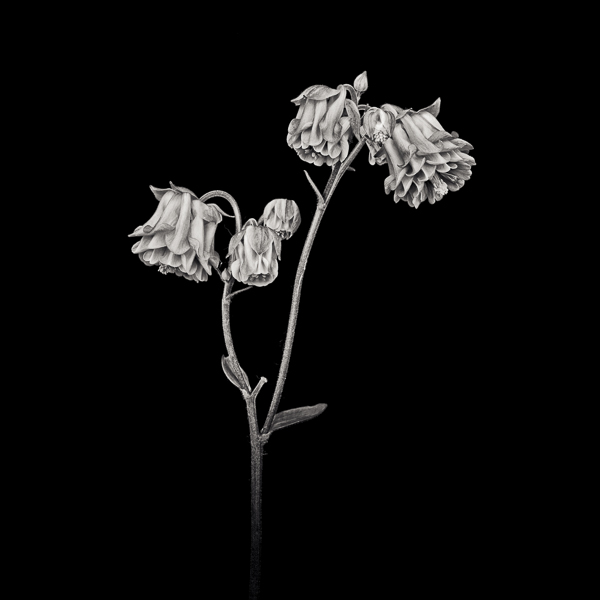 PTL025 Pink Columbine II. Limited edition photographic print by Paul Coghlin
