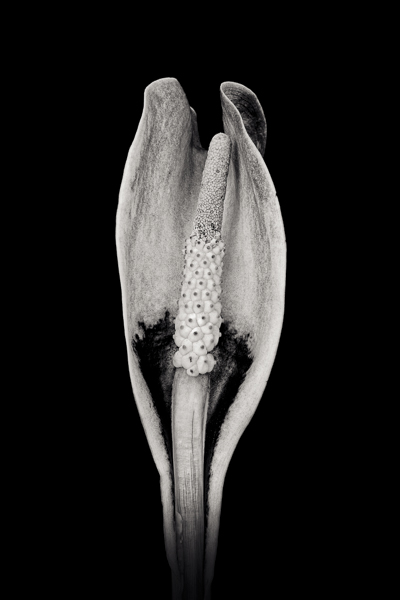 PTL001 Calla Lily. Limited edition photographic print by Paul Coghlin