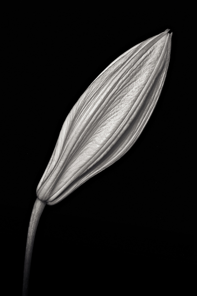 PTL030 Lilies, Study I. Limited edition photographic print by Paul Coghlin